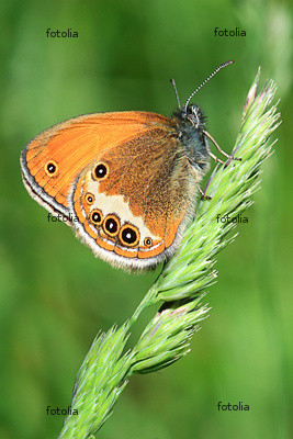 farfalla-stelo