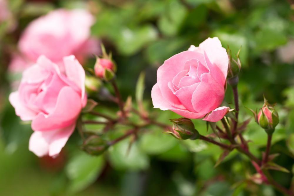 rosa Rose, Nahaufnahme der Blume auf einem Rosenstock