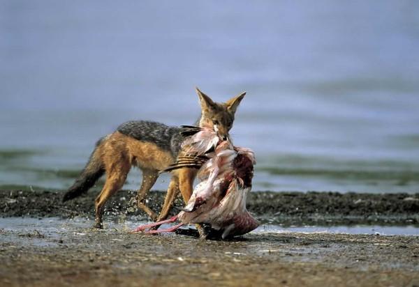 sciacallo con preda: fa solo il suo mestiere; gli sciacalli umani no.....