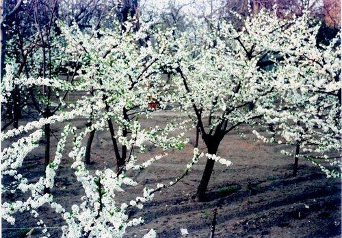 albero fiorito2