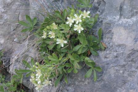 Potentilla caulescens : vive sulle rocce.